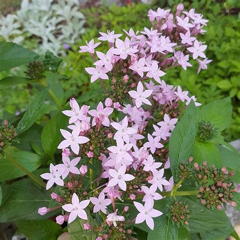 pentas lanceolata northern lights lavender white flower