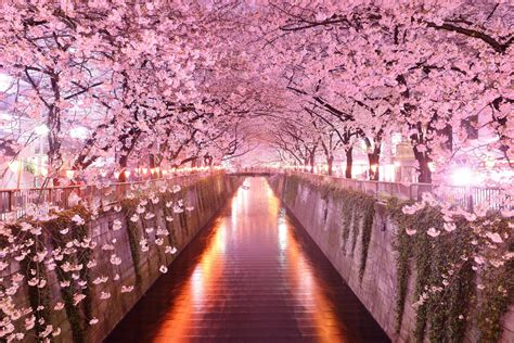 cherry blossom festival cherry blossom festival 2018 a serious must do in japan