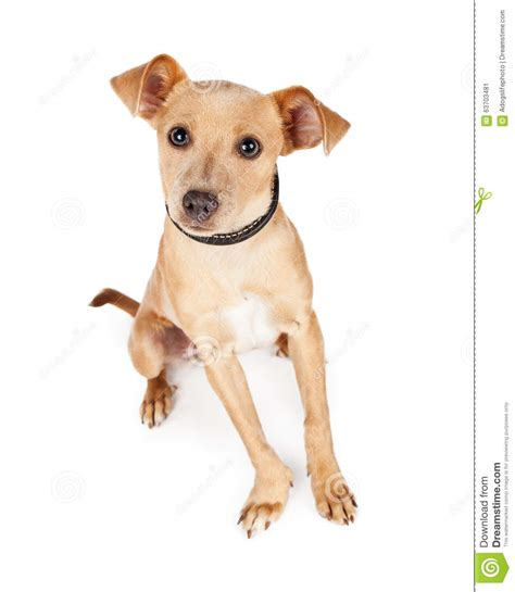 young crossbreed cute and curious young chihuahua crossbreed dog stock