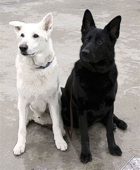 black and white german shepherd white and black german shepherds wants vs needs