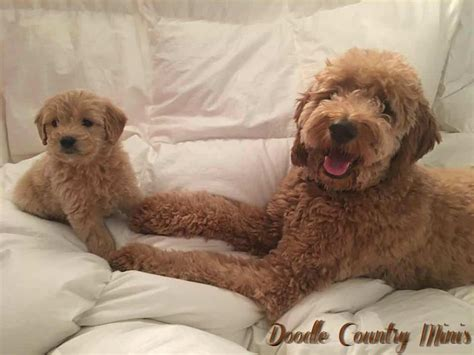 mini doodle country doodle country mini goldendoodles family raised mini