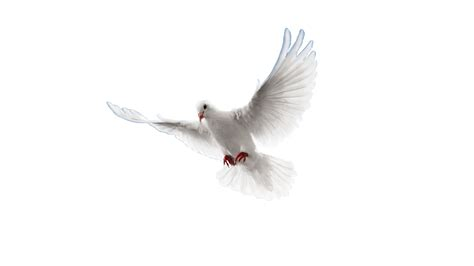 imagenes de palomas blancas en vuelo paloma png imagenes png pinterest