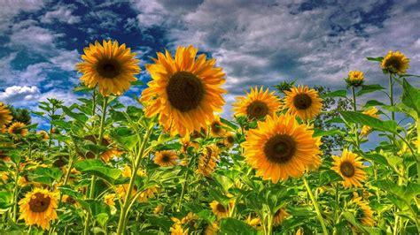 sunflower field wallpaper beautiful flowers pictures