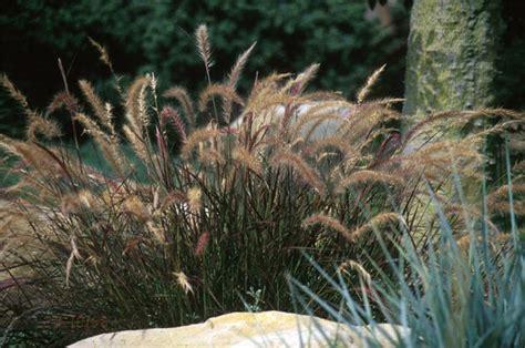 pennisetum eaton canyon