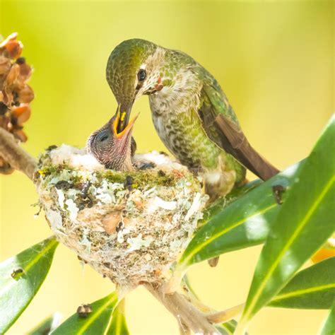life inside a hummingbird nest huffpost