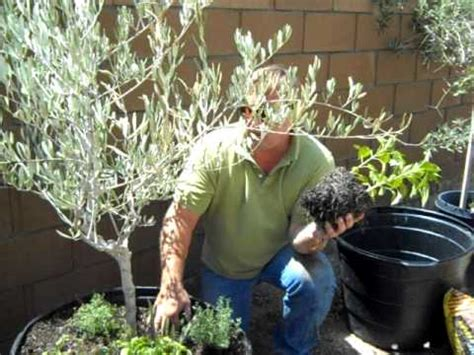 Containers For Vegetable Gardening - container gardening olive tree planting youtube
