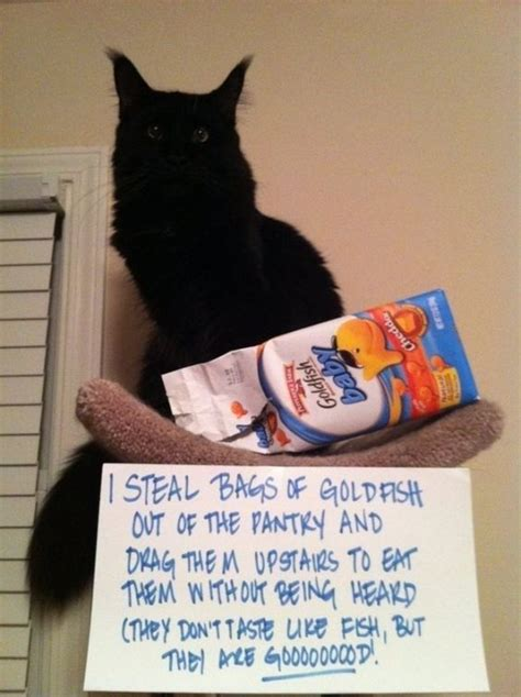 New Cat Memes - best 25 cat memes ideas on pinterest funny cat memes