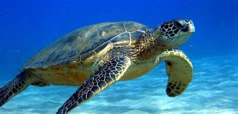 imagenes de tortugas blancas image gallery tortuga