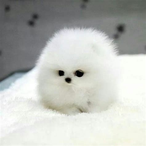 miniature pomeranian husky the 25 best teacup pomeranian husky ideas on pomeranian husky puppies