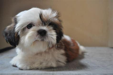 terjual anjing shih tzu mini lucu umur  bulan kaskus
