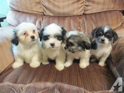 pomeranian for sale michigan pomeranian maltese shihtzu puppies for sale in jerome michigan classified