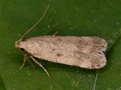 lepidoptera no pexicopia malvella hollyhock seed moth
