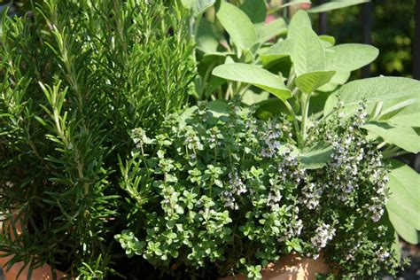 herb garden plants the natural gardening alternative using herbs as