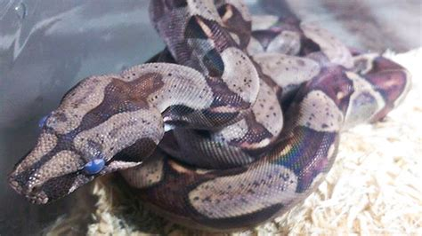 Excessive Skin Shedding In Humans by Why Do Snakes Shed Their Skin