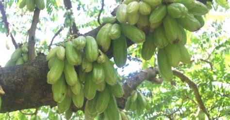 ciri ciri tanaman belimbing wuluh manfaat  khasiatnya