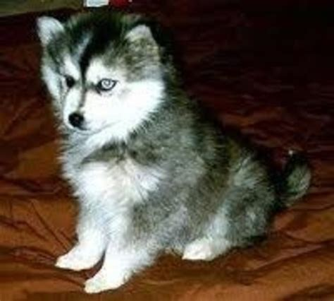 buy a pomeranian husky mix pomeranian siberian husky mix pomskies car interior design