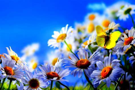 imagenes de mariposas blancas volando mariposa amarilla volando sobre unas margaritas blancas