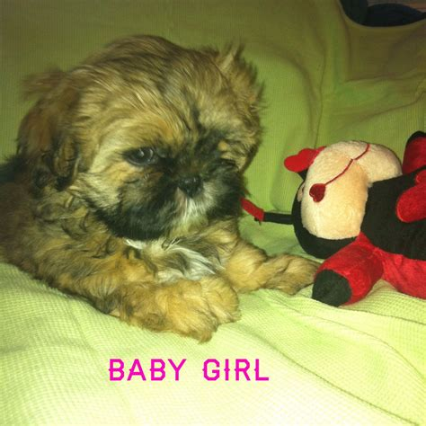 imperial shih tzu puppies michigan tzu puppies for sale 500 posted 8 months ago for sale dogs shih tzu breeds picture