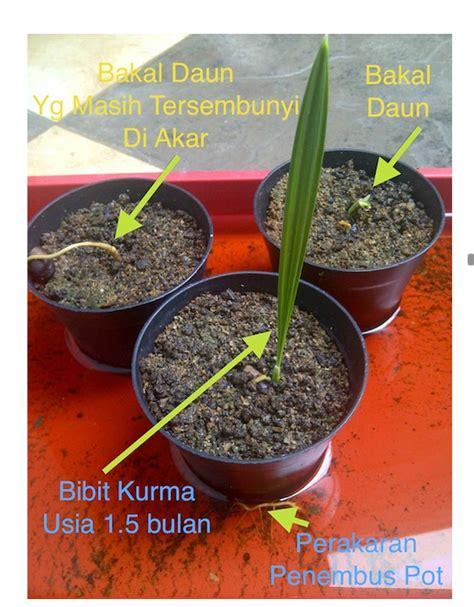 Bibit Kelengkeng Pingpong Malang jual pohon bibit kurma harga bekasi maret 2016