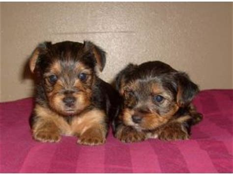 yorkie puppy mill pin yorkie puppy mill rescue image search results on