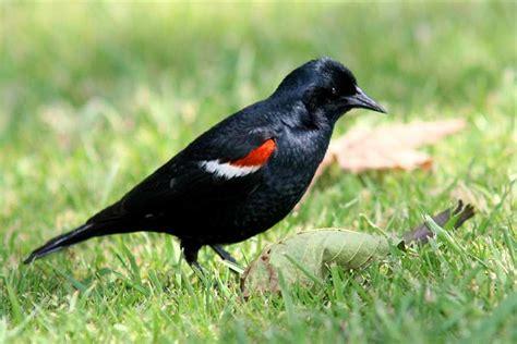 tri colored blackbird file blackbird tricolored summer california monte m