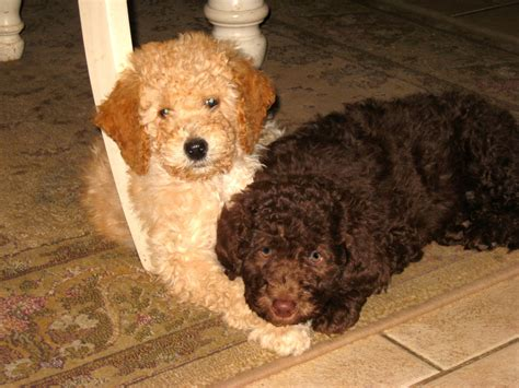 goldendoodle puppy ny willowgreen golden doodles of new york puppies for sale