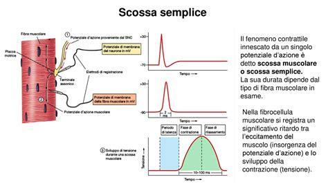 dispense fisiologia meccanica della contrazione muscolare dispense