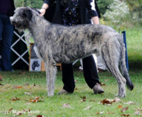 how fast do puppies grow how fast does a puppy grow wolfhound club of america inc