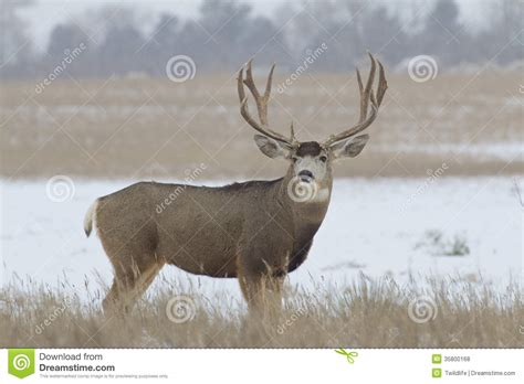 large buck mule deer buck with large antlers in snow stock image