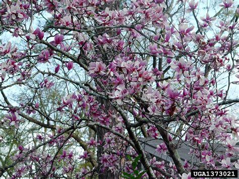 saucer magnolia magnolia x soulangiana magnoliales