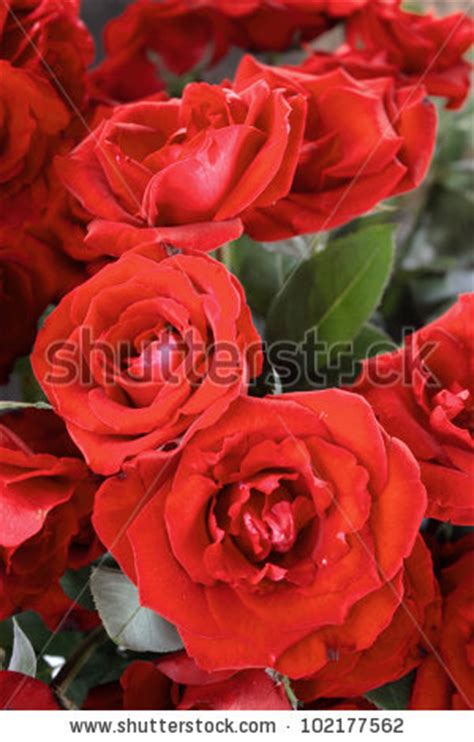 theme red rose download a flower theme red roses stock photo 102177562 shutterstock