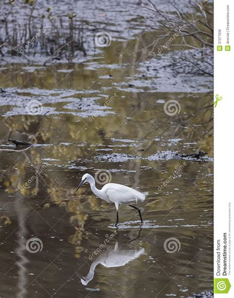 little egret royalty free stock image image 37377936