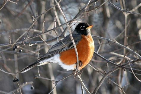 wisconsin state bird all things wisconsin pinterest