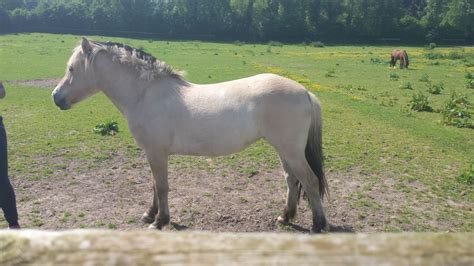 fjord horse for sale uk superb fjord laid back little filly uxbridge middlesex