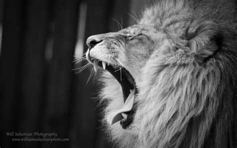 wallpaper tumblr lion lion roar on tumblr