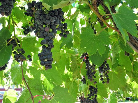 Search On Vine Grapes On Vines Door County Wisconsin Wine Trail