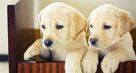 when can puppies leave can puppies leave at six weeks you need to