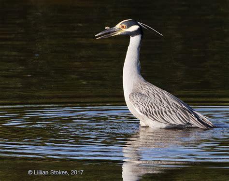 stokes birding blog networkedblogs by ninua