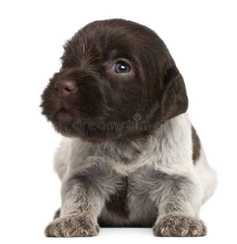 wirehaired pointing griffon puppies price wirehaired pointing griffon puppy 1 month royalty free stock image image 18673296