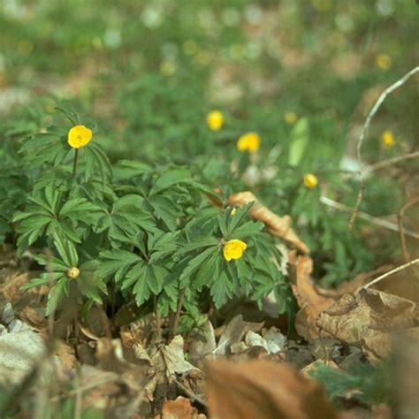 hof berg garten onlineshop anemone ranunculoides pflanze im topf gelbes windr 246 schen