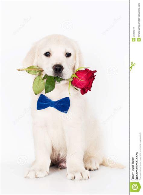 boca golden retrievers filhote de cachorro do golden retriever que guardara uma rosa em sua boca foto de
