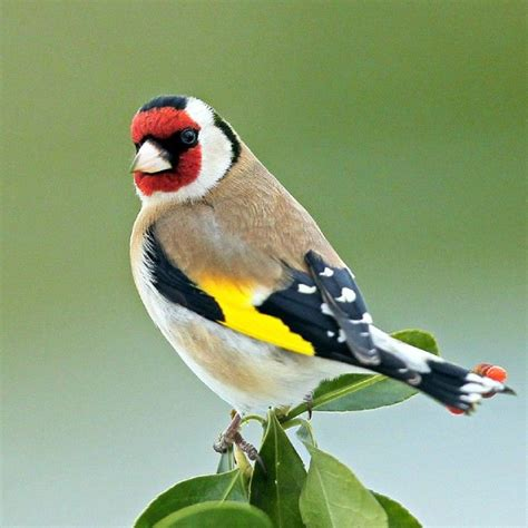 goldfinch by sandor bernath birds pinterest