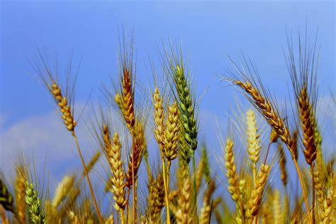 images of plants breastfeeding gluten introduction and risk of celiac