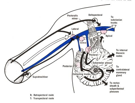 lymphatic drainage system diagram lymphatic drainage diagram images