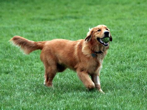 Golden Retriever Pictures And Information Dog Breed Pictures Small Large
