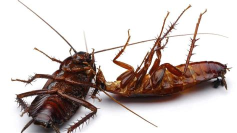 come eliminare scarafaggi in cucina come disinfestare scarafaggi e blatte scarafaggio it