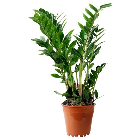 zamioculcas potted plant aroid palm 17 cm ikea