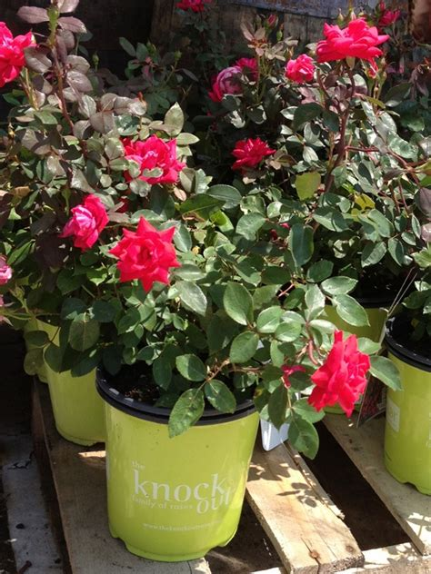 images  potted plants  pinterest gardens