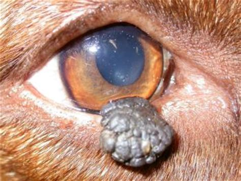 blepharitis in dogs a clinical from the archives 11 06 2005 veterinary ophthalmology