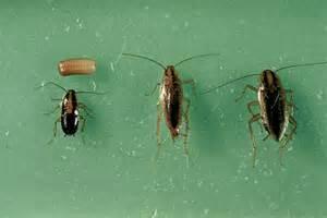 german cockroach rose pest control